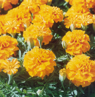 Picture of Tagetes erecta