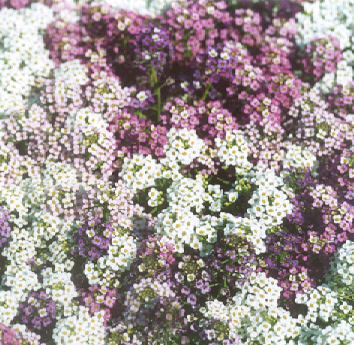 Picture of Lobularia maritima