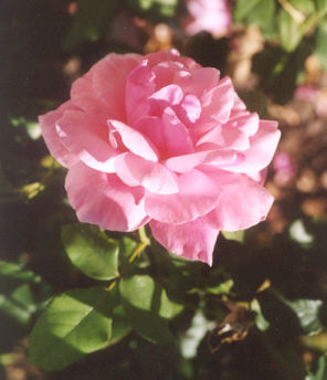 Picture of Rosa hybrid