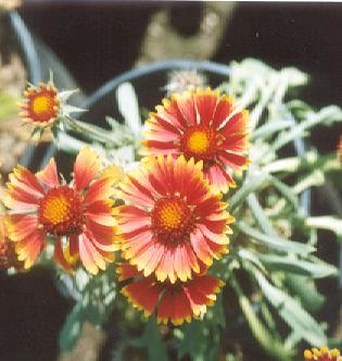 Picture of Gaillardia x grandiflora