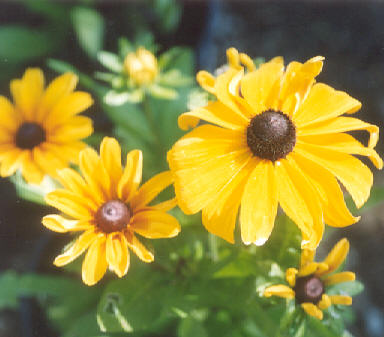 Picture of Rudbeckia hirta