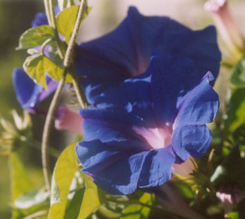 Picture of Ipomoea tricolor