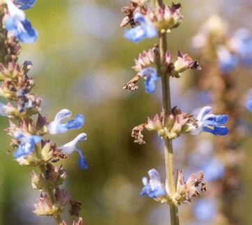 Picture of Salvia uliginosa