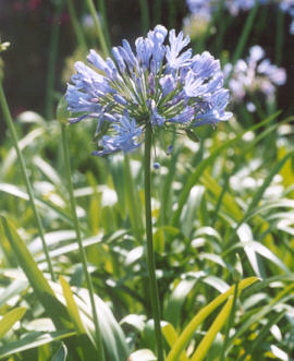 Picture of Agapanthus orientalis