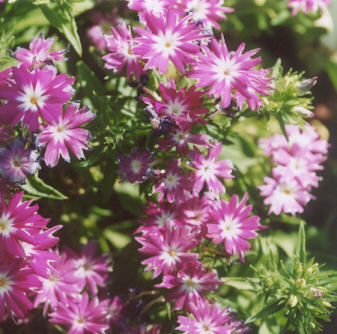 Picture of Phlox subulata