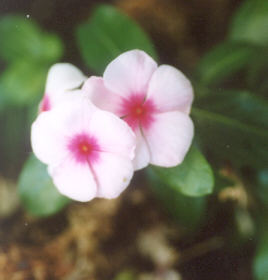 Picture of Catharanthus roseus