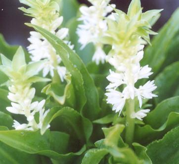 Picture of Eucomis alba