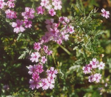 Picture of Verbena peruviana