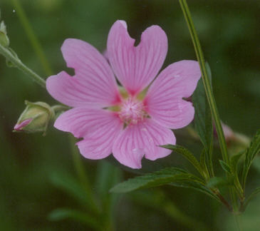 Picture of Lavatera thuringiaca