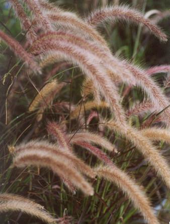 Picture of Pennisetum setaceum