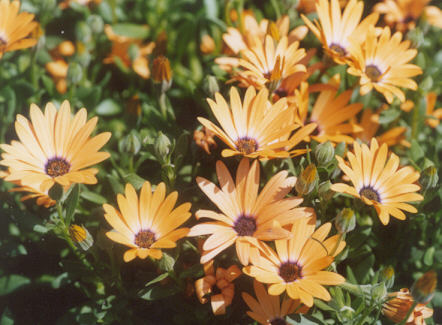 Picture of Osteospermum