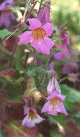 Picture of Rehmannia elata