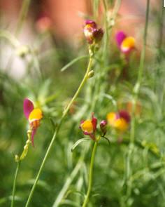Picture of Linaria reticulata
