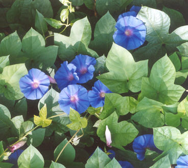 Picture of Ipomoea indica