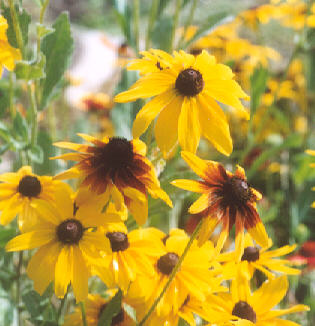 Picture of Rudbeckia sp.