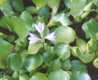 Picture of Eichhornia crassipes