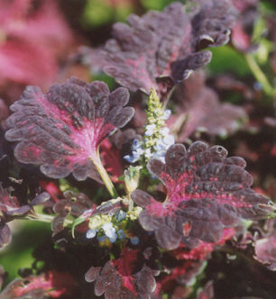 Picture of Coleus x hybridus