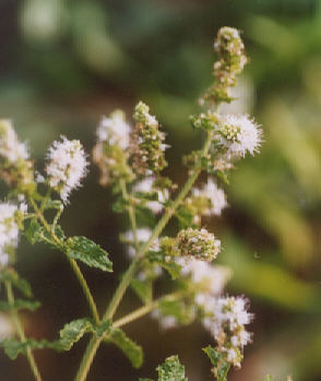Picture of Mentha spicata
