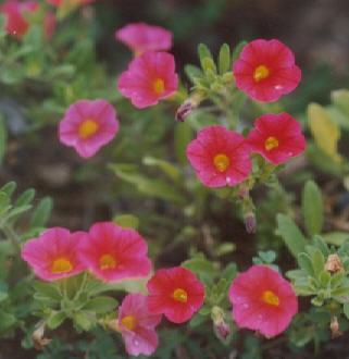 Picture of Calibrachoa