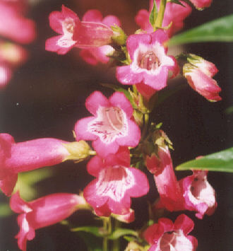 Picture of Penstemon hybrid