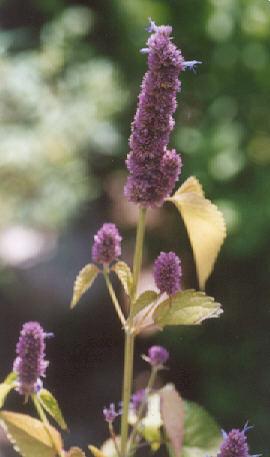 Picture of Agastache foeniculum