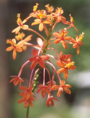 Picture of Epidendrum x obrienianum