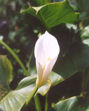 Picture of Zantedeschia aethiopica