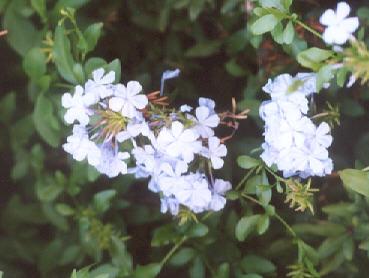 Picture of Plumbago auriculata