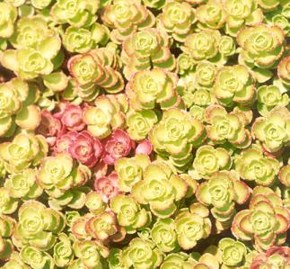 Picture of Sedum spurium
