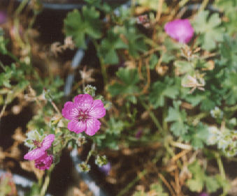Picture of Geranium cinereum