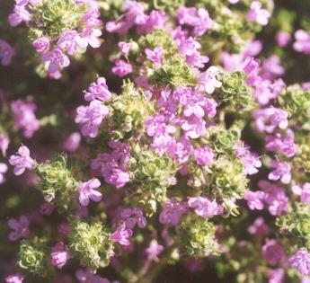 Picture of Thymus pseudolanuginosus