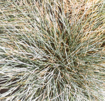 Picture of Festuca glauca
