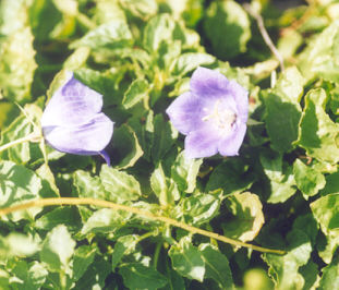 Picture of Campanula