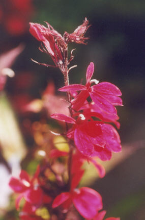 Picture of Lobelia cardinalis