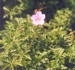 Picture of Geranium incanum