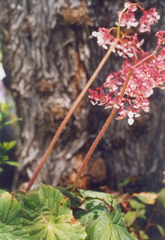 Picture of Begonia ricifolia