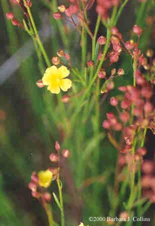 Picture of Helianthemum scoparium