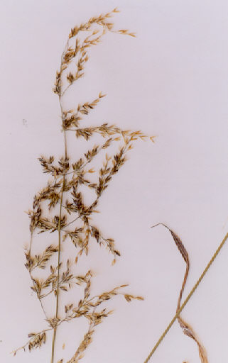 Picture of Agrostis stolonifera