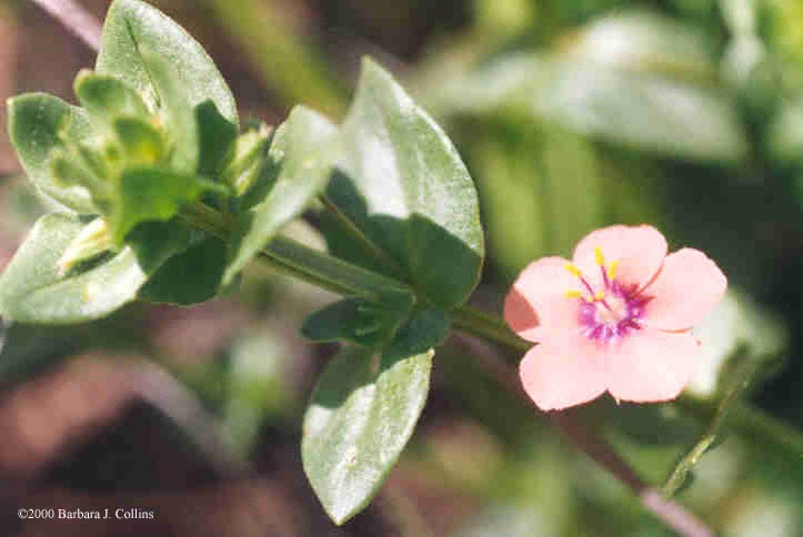 Picture of Anagallis arvensis