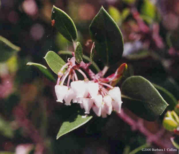 Picture of Arctostaphylos glauca