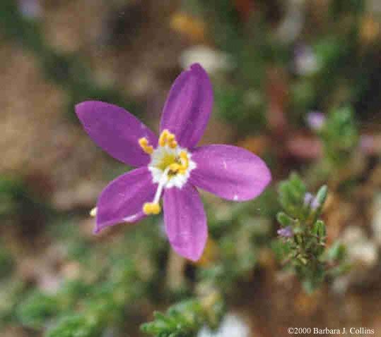 Picture of Centaurium venustum