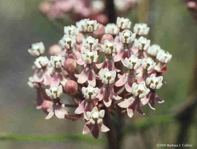 Picture of Asclepias fascicularis