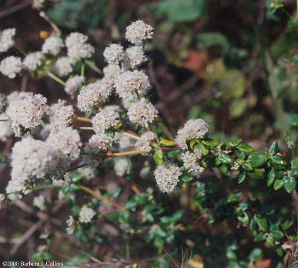 Picture of Eriogonum parvifolium