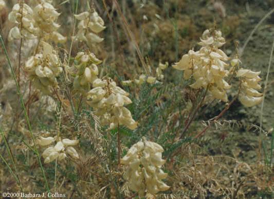 Picture of Astragalus trichopodus var. lonchus