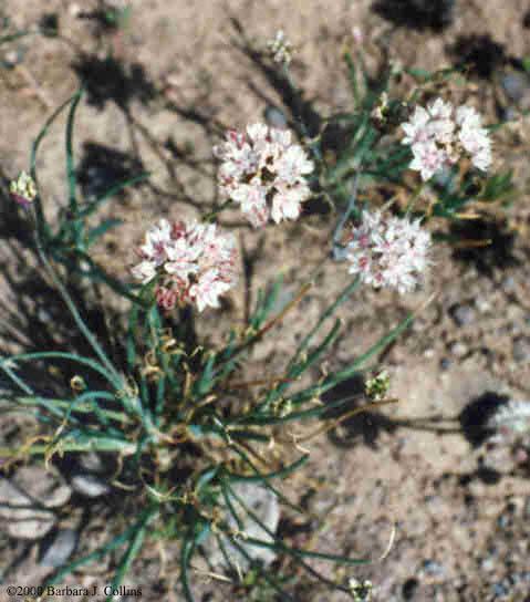 Picture of Allium haematochiton