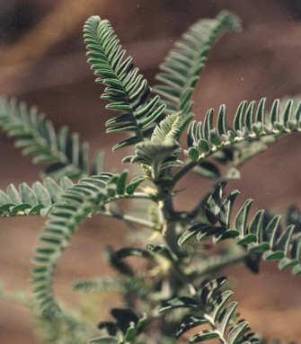 Picture of Astragalus brauntonii