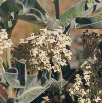 Picture of Asclepias eriocarpa