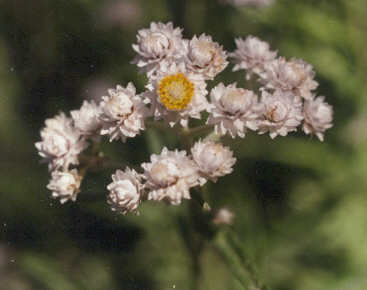 Picture of Anaphalis margaritacea