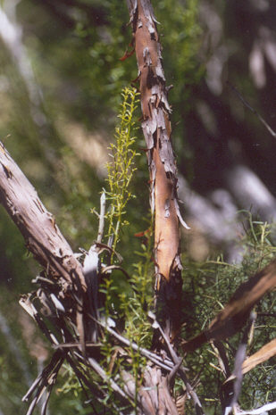 Picture of Adenostoma sparsifolium