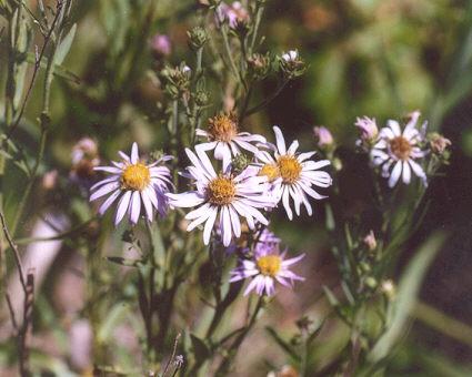 Picture of Aster lanceolatus ssp. hesperius